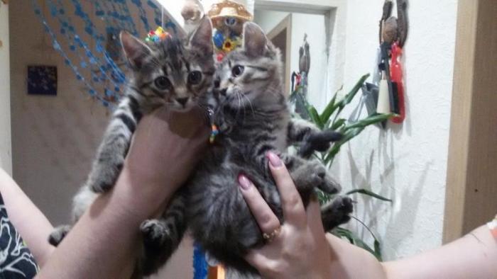 домашние котята(братик -отдан и сестра)