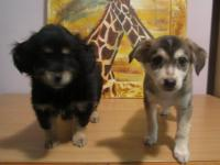Отдам 2-х щенков (мальчик-черный, девочка -коричневая ) возраст -2 месяца тел.862060850